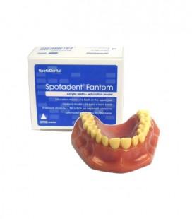 Model szczęki (16 zębów)