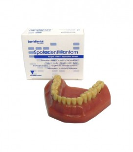 Model żuchwy (16 zębów)